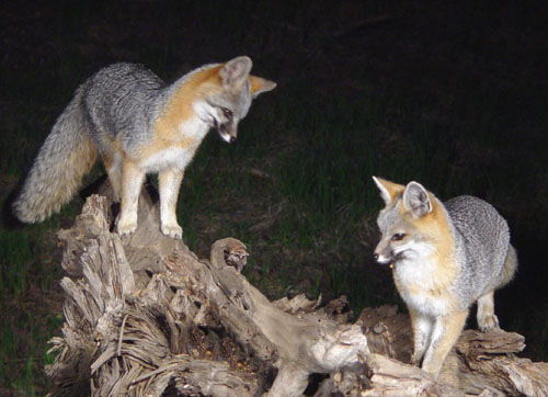 A mated pair of Gray Fox